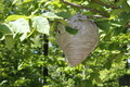 Bee Hive on Tree Branch - PhotoDune Item for Sale