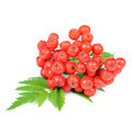 Red Rowan (Mountain-Ash) Berries Isolated on White Background - PhotoDune Item for Sale