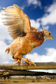 Chicken Walking on Wicker Fence with Wings Spread - PhotoDune Item for Sale