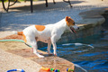 Jack Russell Terrier Poolside - PhotoDune Item for Sale