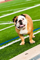 Bulldog on football field - PhotoDune Item for Sale