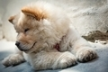 Cute puppy chow chow - PhotoDune Item for Sale