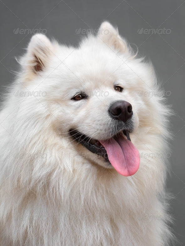 Portrait ofl dog - Samoyed - Stock Photo - Images