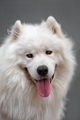 Portrait ofl dog - Samoyed - PhotoDune Item for Sale