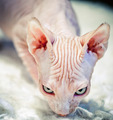 Canadian Sphynx - no fur pedigree cat - PhotoDune Item for Sale