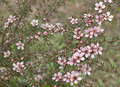 Australian Leptospernum Bush - PhotoDune Item for Sale