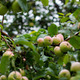 Fresh Natural Apples with Drops of Rain - PhotoDune Item for Sale