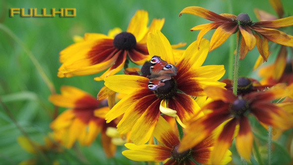 VideoHive Garden Flowers Zinnia and Butterfly 5477566