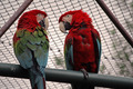 Ara Parrots - PhotoDune Item for Sale