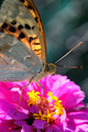 Butterfly On Dahlia - PhotoDune Item for Sale