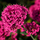 Bright Pink Flowers - PhotoDune Item for Sale