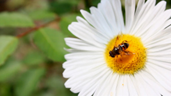 VideoHive Bee On Flower 5505259