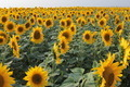 Field of sunflowers - PhotoDune Item for Sale