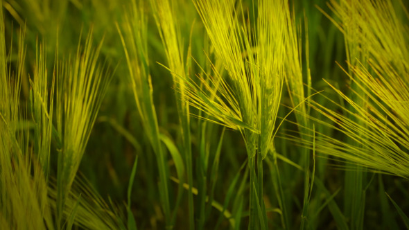 VideoHive Summer Spikelets 5523232
