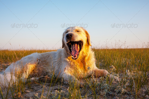 Retriver - Stock Photo - Images