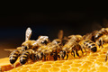 Macro of working bee on honeycells. - PhotoDune Item for Sale