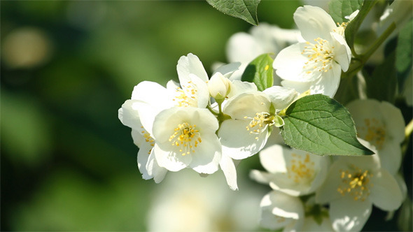 VideoHive Flower Of Jasmine 5545911