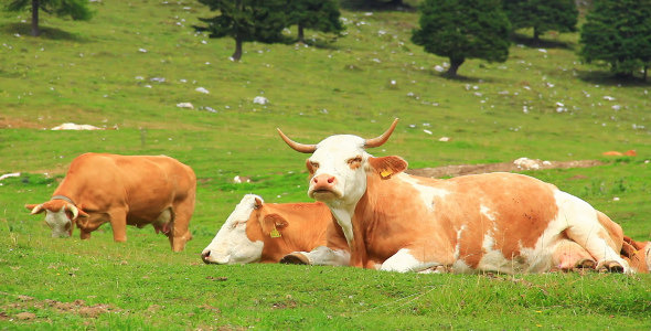 VideoHive Cows 5560881