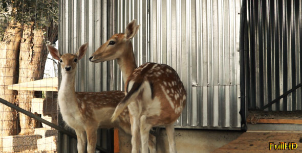 VideoHive Two Deer 5563429