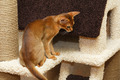 Abyssinian Kitten - PhotoDune Item for Sale