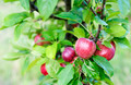 Apples on Branch - PhotoDune Item for Sale