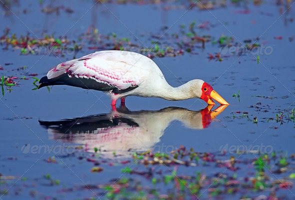 Yellow-billed stork - Stock Photo - Images