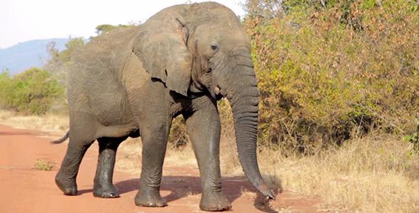 VideoHive Elephant 5571840