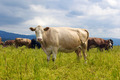 cow on a summer pasture - PhotoDune Item for Sale