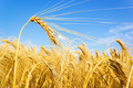 golden wheat on a grain field - PhotoDune Item for Sale
