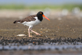 American Oystercatcher - PhotoDune Item for Sale