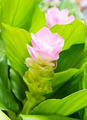 Siam tulip flower or Curcuma alismatifolia - PhotoDune Item for Sale
