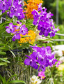 Purple Vanda orchid - PhotoDune Item for Sale