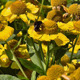 Bumblebee On Yellow Daisies - VideoHive Item for Sale