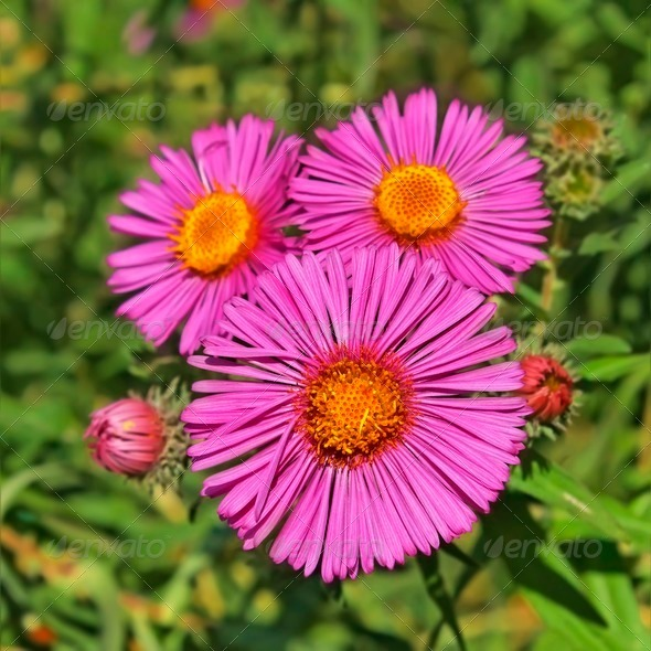 Three asters - Stock Photo - Images