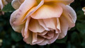 A Rose By Any Other Name - PhotoDune Item for Sale