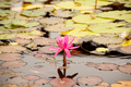 Lily in The Pond - PhotoDune Item for Sale