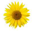 Isolated sunflower on the white background.  - PhotoDune Item for Sale