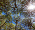 Wide angle view of pine trees - PhotoDune Item for Sale