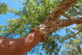 Peeled cork oaks tree - PhotoDune Item for Sale