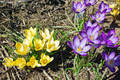 Yellow and purple crocuses - PhotoDune Item for Sale