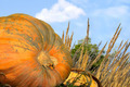 Pumpkin Patch Close Up - PhotoDune Item for Sale