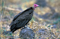 Red-headed Vulture - PhotoDune Item for Sale