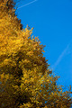Tree with yellow autumn colors - PhotoDune Item for Sale
