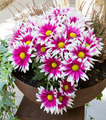 Chrysanthemums in pot - PhotoDune Item for Sale