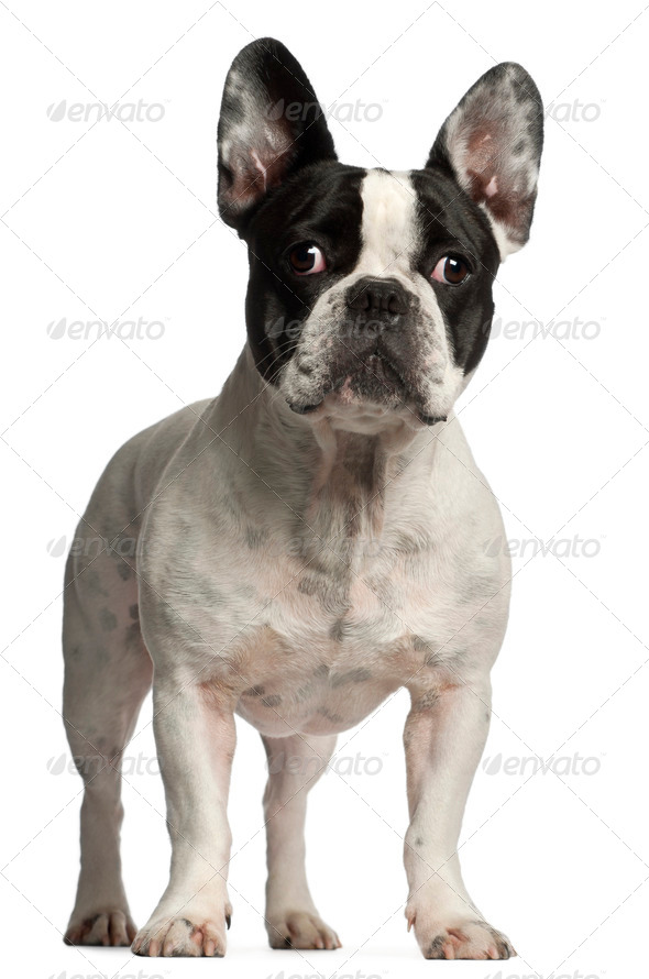 French Bulldog, 3 years old, standing in front of white background - Stock Photo - Images