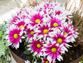 Pink chrysanthemums - PhotoDune Item for Sale