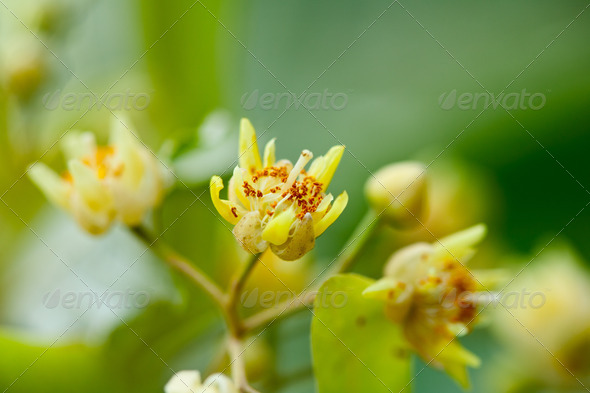 Tilia flowers - Stock Photo - Images