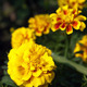 French marigold flowers - PhotoDune Item for Sale