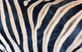 Zebra skin texture - PhotoDune Item for Sale