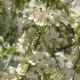 blooming apple trees - VideoHive Item for Sale